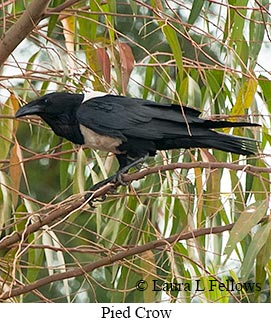 Pied Crow - © Laura L Fellows and Exotic Birding LLC