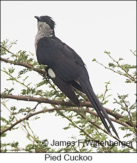 Pied Cuckoo - © James F Wittenberger and Exotic Birding LLC