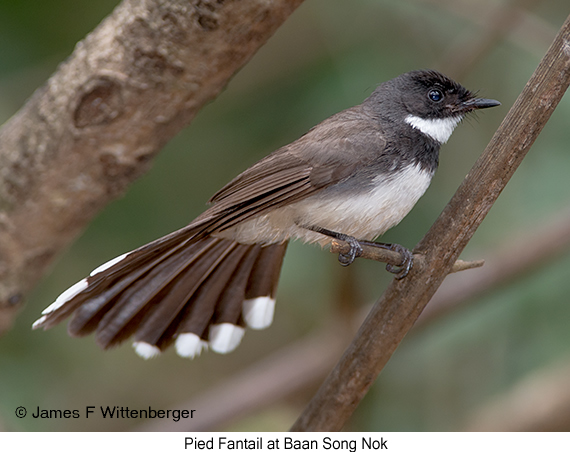Pied Fantail - © James F Wittenberger and Exotic Birding Tours