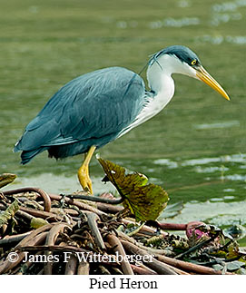 Pied Heron - © James F Wittenberger and Exotic Birding LLC