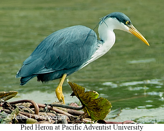 Pied Heron - © James F Wittenberger and Exotic Birding Tours