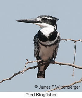 Pied Kingfisher - © James F Wittenberger and Exotic Birding LLC