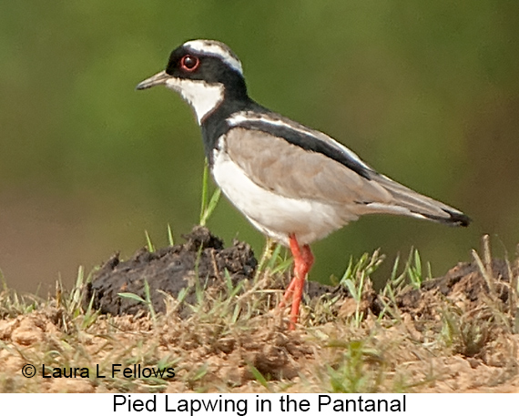 Pied Lapwing - © Laura L Fellows and Exotic Birding LLC