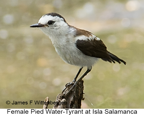 Pied Water-Tyrant - © James F Wittenberger and Exotic Birding LLC