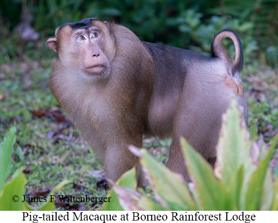 Pig-tailed Macaque - © James F Wittenberger and Exotic Birding Tours