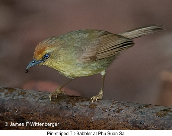 Pin-striped Tit-Babbler - © James F Wittenberger and Exotic Birding Tours