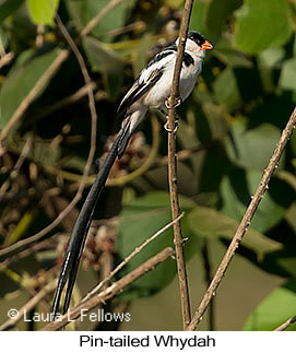 Pin-tailed Whydah - © Laura L Fellows and Exotic Birding Tours
