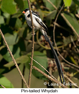 Pin-tailed Whydah - © Laura L Fellows and Exotic Birding LLC