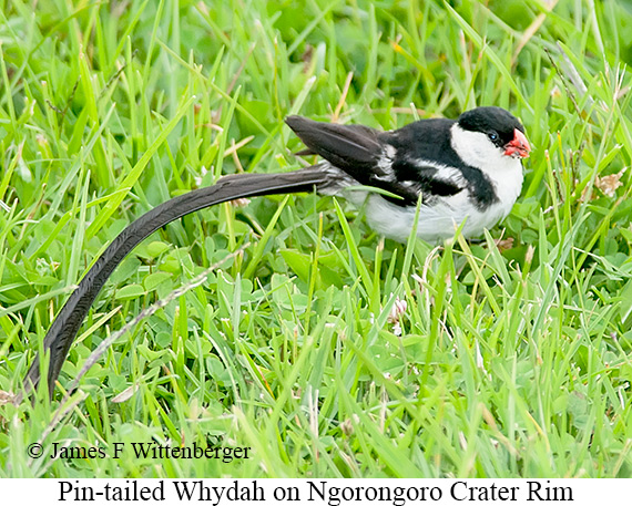 Pin-tailed Whydah - © The Photographer and Exotic Birding LLC