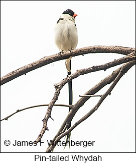 Pin-tailed Whydah - © James F Wittenberger and Exotic Birding LLC