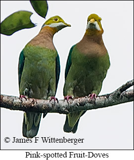 Pink-spotted Fruit-Dove - © James F Wittenberger and Exotic Birding Tours
