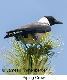 Piping Crow - © James F Wittenberger and Exotic Birding LLC