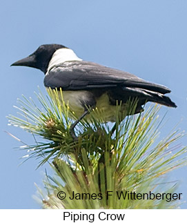 Piping Crow - © James F Wittenberger and Exotic Birding Tours