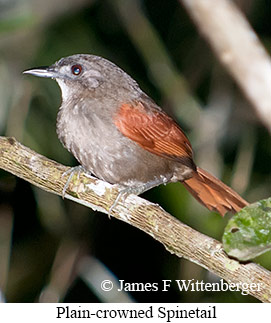 Plain-crowned Spinetail - © James F Wittenberger and Exotic Birding Tours