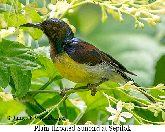 Plain-throated Sunbird - © Laura L Fellows and Exotic Birding Tours