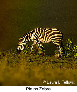 Plains Zebra - © Laura L Fellows and Exotic Birding Tours