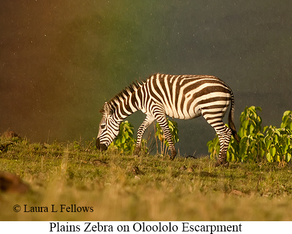 Plains Zebra - © Laura L Fellows and Exotic Birding LLC