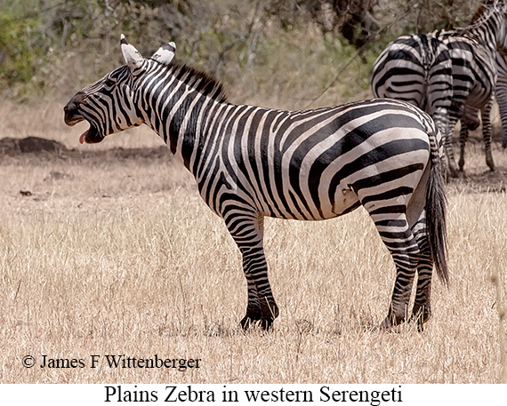 Plains Zebra - © James F Wittenberger and Exotic Birding Tours