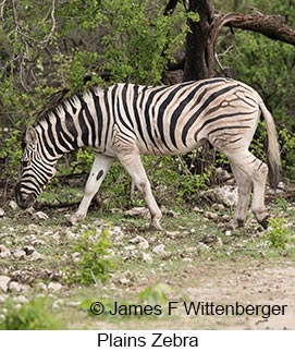 Plains Zebra - © James F Wittenberger and Exotic Birding LLC