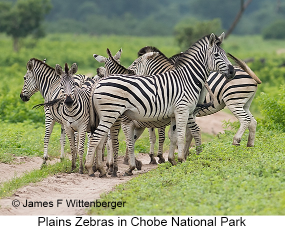 Plains Zebra - © The Photographer and Exotic Birding LLC