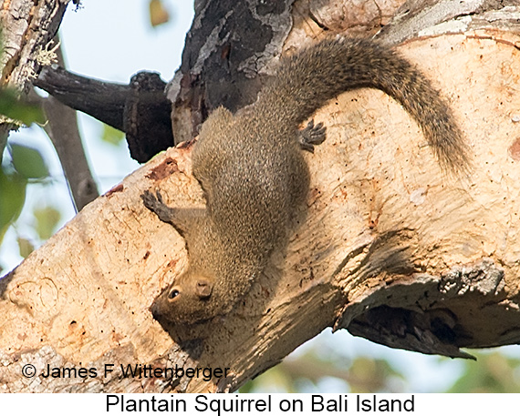 Plantain Squirrel - © Laura L Fellows and Exotic Birding Tours