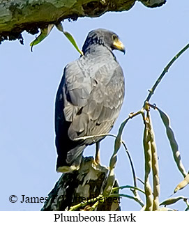 Plumbeous Hawk - © James F Wittenberger and Exotic Birding Tours