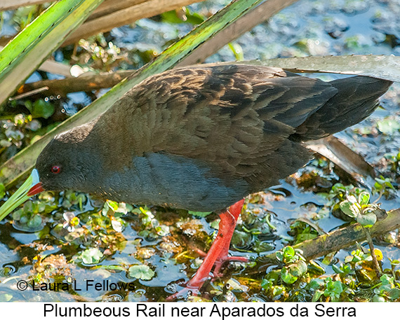 Plumbeous Rail - © The Photographer and Exotic Birding LLC