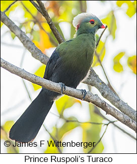 Prince Ruspoli's Turaco - © James F Wittenberger and Exotic Birding LLC