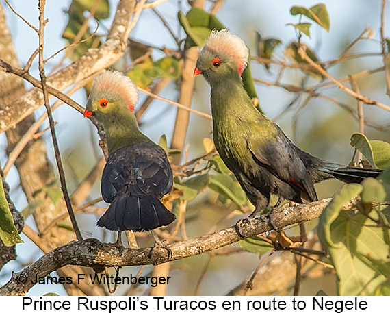 Prince Ruspoli's Turaco - © The Photographer and Exotic Birding LLC