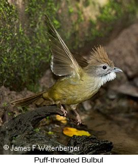 Puff-throated Bulbul - © James F Wittenberger and Exotic Birding LLC