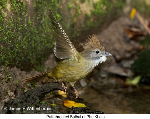 Puff-throated Bulbul - © James F Wittenberger and Exotic Birding Tours