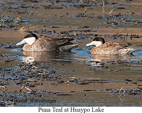 Puna Teal - © James F Wittenberger and Exotic Birding Tours