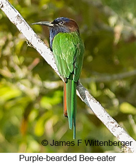 Purple-bearded Bee-eater - © James F Wittenberger and Exotic Birding Tours