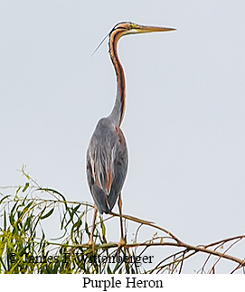 Purple Heron - © James F Wittenberger and Exotic Birding Tours
