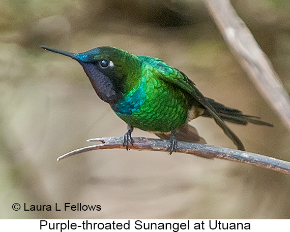 Purple-throated Sunangel - © Laura L Fellows and Exotic Birding Tours