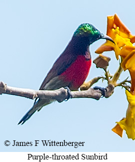 Purple-throated Sunbird - © James F Wittenberger and Exotic Birding Tours