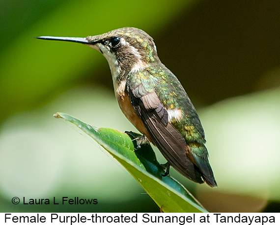 Purple-throated Woodstar - © Laura L Fellows and Exotic Birding Tours