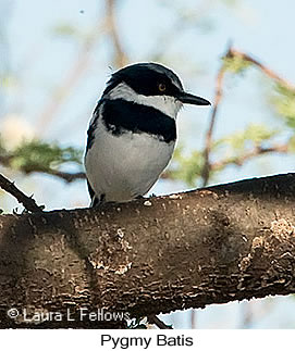 Pygmy Batis - © Laura L Fellows and Exotic Birding LLC