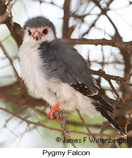 Pygmy Falcon - © James F Wittenberger and Exotic Birding LLC