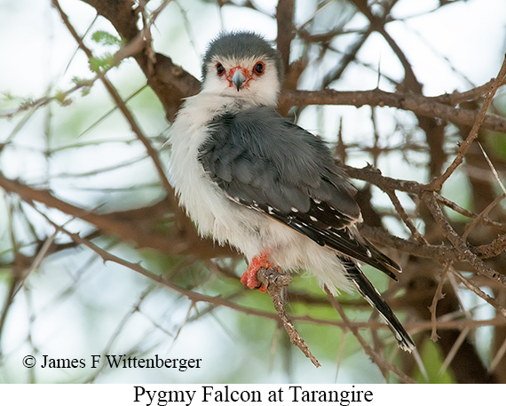 Pygmy Falcon - © James F Wittenberger and Exotic Birding Tours