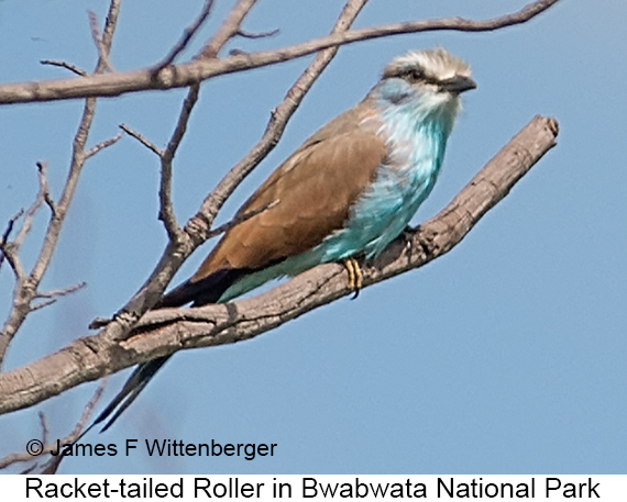 Racket-tailed Roller - © The Photographer and Exotic Birding LLC