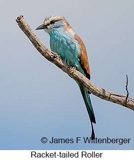 Racket-tailed Roller - © James F Wittenberger and Exotic Birding LLC