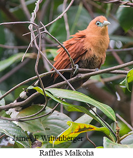 Raffles's Malkoha - © James F Wittenberger and Exotic Birding Tours