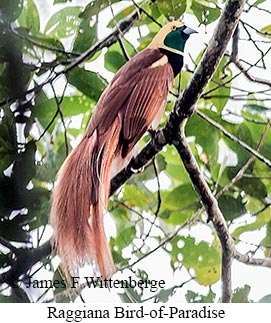 Raggiana Bird-of-Paradise - © James F Wittenberger and Exotic Birding Tours