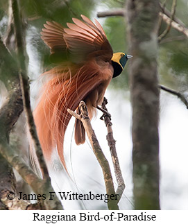 Raggiana-bird Of Paradise - © James F Wittenberger and Exotic Birding Tours