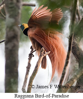 Raggiana Bird-of-Paradise - © James F Wittenberger and Exotic Birding LLC