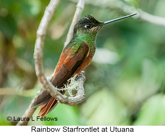 Rainbow Starfrontlet - © Laura L Fellows and Exotic Birding Tours