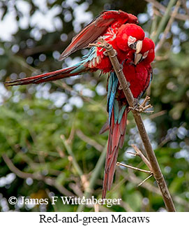 Red-and-green Macaw - © James F Wittenberger and Exotic Birding Tours