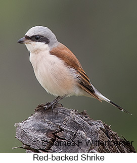 Red-backed Shrike - © James F Wittenberger and Exotic Birding LLC