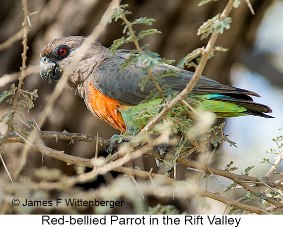 Red-bellied Parrot - © The Photographer and Exotic Birding LLC